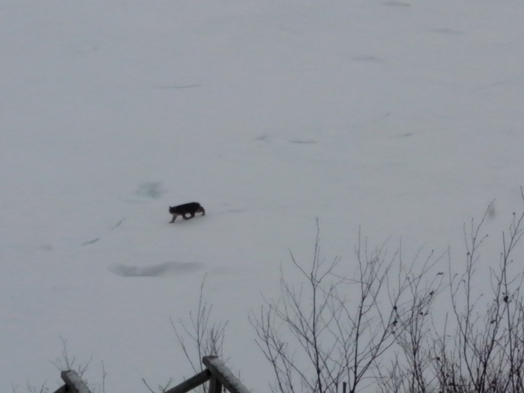 Bobcat walking along frozen ice on Hancock shore of Taunton Bay