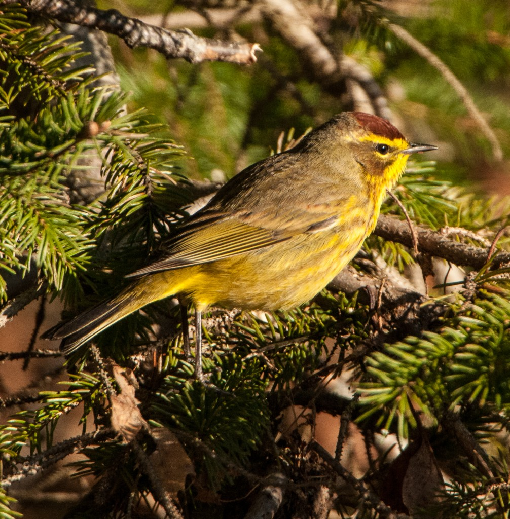 Palm Warbler, Photo by Gerard Monteux, Hancock, April 2015