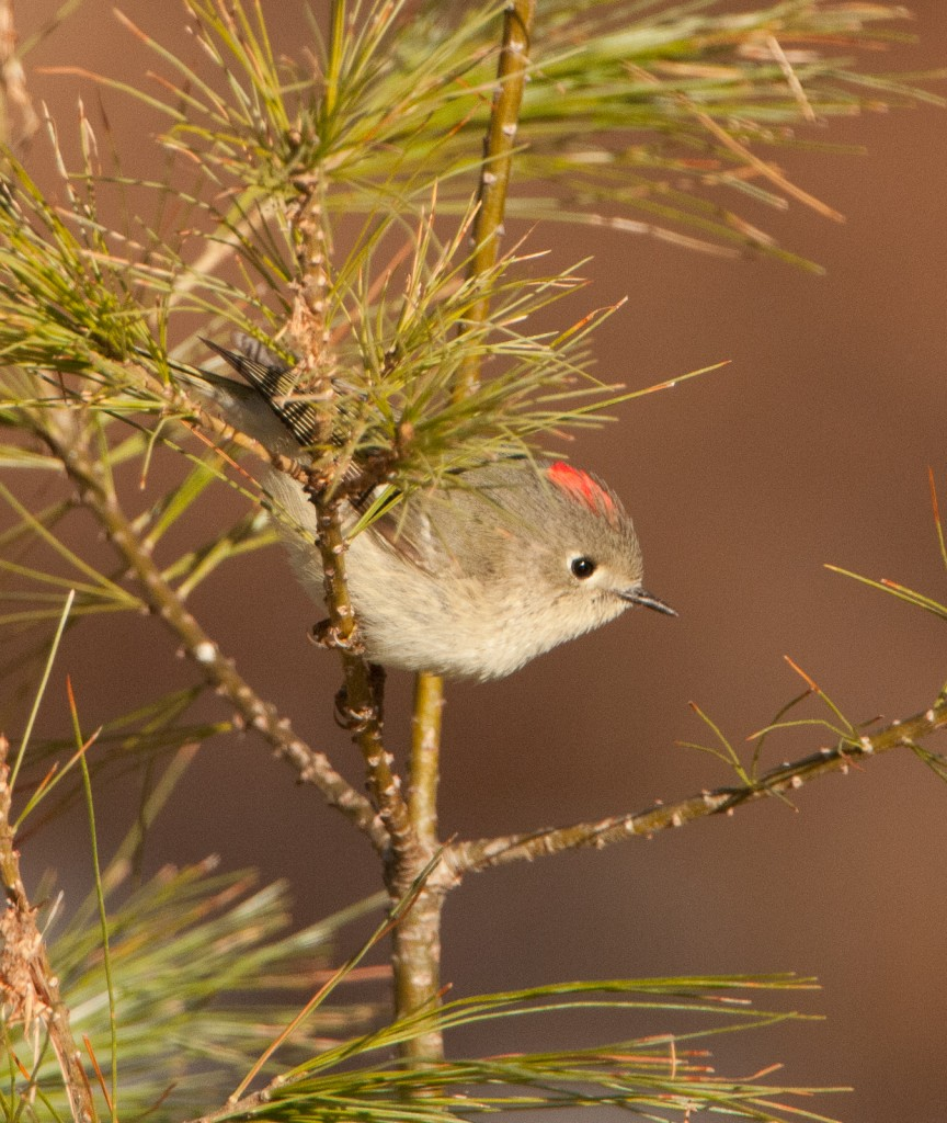 Ruby-Crested Kinglet, Photo by Gerard Monteux, Hancock, April 2015