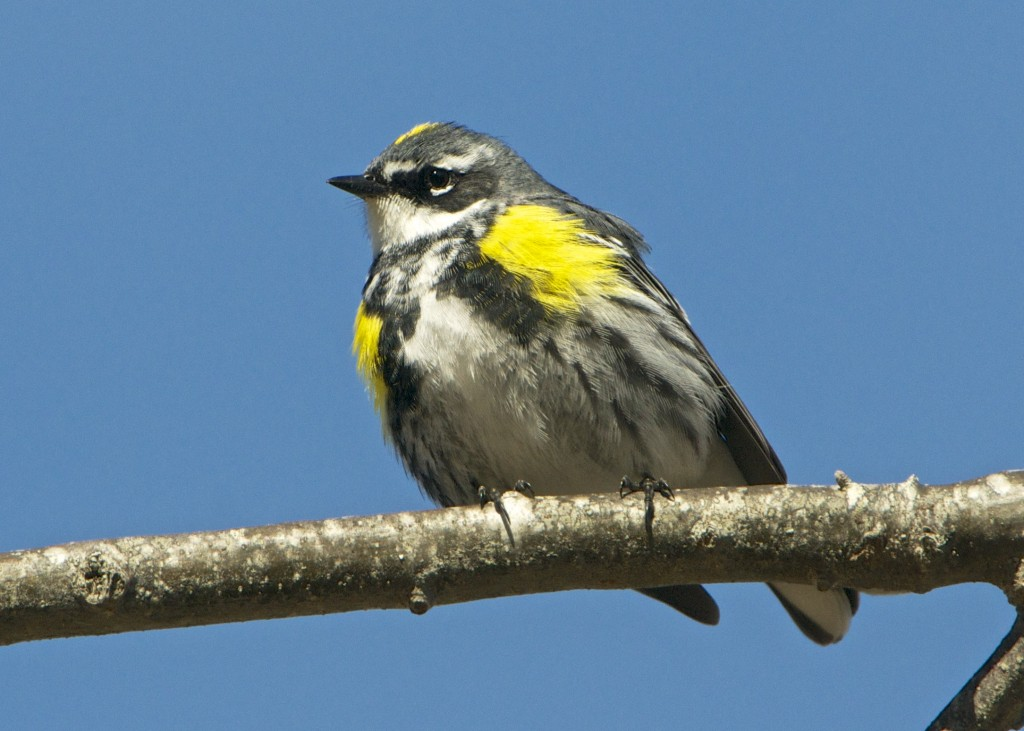 'Myrtle' Yellow-rumped Warbler Photo by Gerard Monteux, April 2015